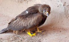 Dünyada ilk Uçan Hayvana Protez Bacak